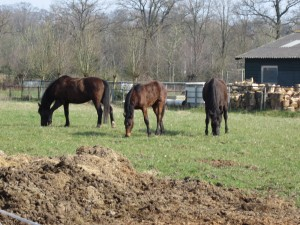 paarden samen in de wei